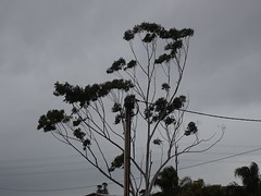 Gum Tree in the Wind