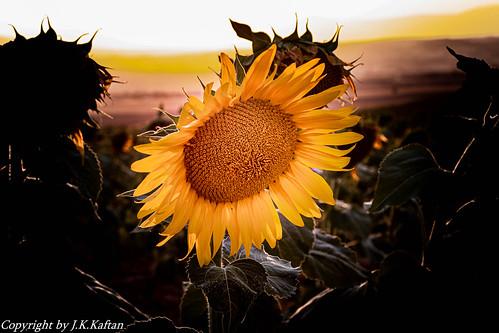 In the Field with the last rays of the Sun ..., En el Campo con los últimos rayos del Sol....