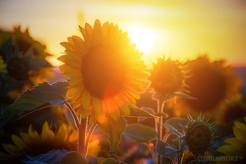 Les tournesols de Nos Fleurs à Couper - Leers-et-Fosteau (BE)
