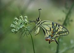 Grand porte-queue (Papilio machaon), Le Collet-de-Dèze, Lozère, France