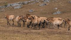 Chevaux de Przewalski (Equus przewalskii) en semi-liberté sur le Causse Méjean, Lozère, France