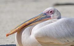 Lounging pink pelican