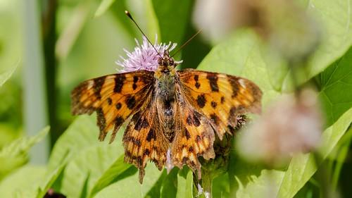 Comma Butterfly  Polygonia c-album (Linnaeus, 1758) - Gehakkelde aurelia.