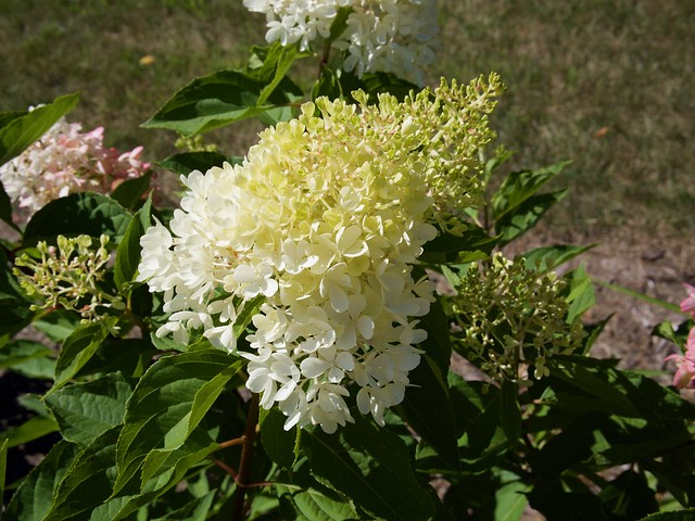 Photo:Hydrangea paniculata [Zinfin Doll] 'SMNHPRZEP' (Wood, 2016) Photo by F.D.Richards, SE Michigan, 8/2020 By F. D. Richards