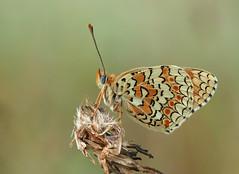Grand Damier (Melitaea phoebe), Le Collet-de-Dèze, Lozère, France