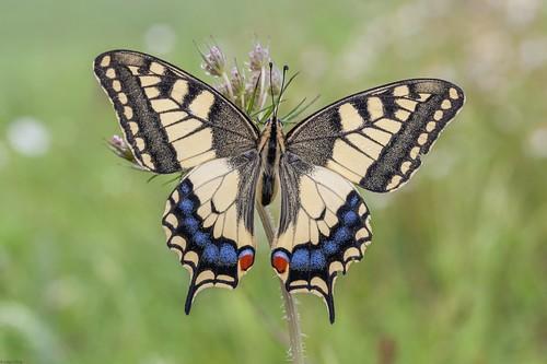 *The beautyful swallowtail*
