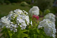 White Phlox in the Garden