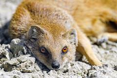 Flat mongoose