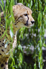Cheetah among the leaves II