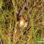 Fauna en las lagunas de La Guardia (Toledo) 8-8-2020