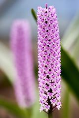 A pink bottle brush? (Arpophyllum giganteum)