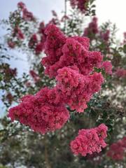 Vivid Crepe Myrtle Blooms 3D - IMRAN™