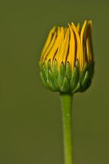 Topinambur - Sunflower