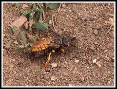 Philanthus triangulum: Bee wolf wasp