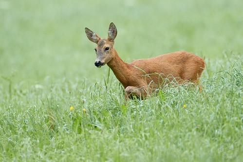 Reh - Roe Deer - Capreolus capreolus