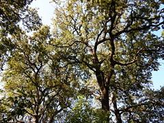 Oak Branches Overhead