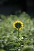 Photo:20200801 Hamanako Garden Park 2 By BONGURI