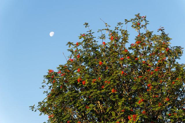 Moon Berries