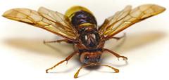 Giant Alder Sawfly (Cimbex connatus)