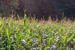 8th August 2020 -  Harvest time (fruit, vegetable or flower) - Day 7 - field of corn