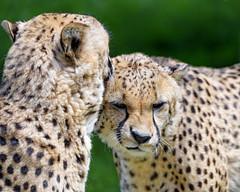 Cheetahs licking each other