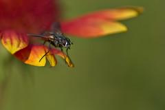 Fly on Blanketflower