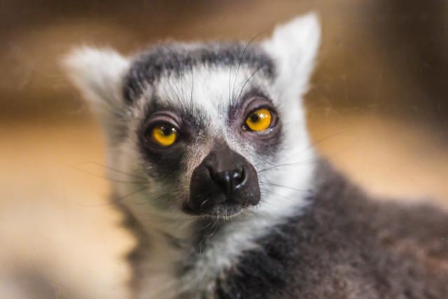 Photo:The Sly Mr. Lemur By Thomas Hawk