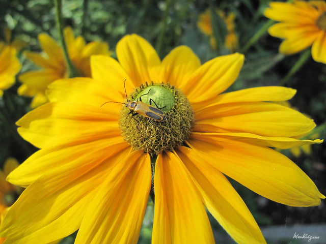 Photo:Goldenrod Soldier Beetle on Rudbeckia - Cantharide de Pennsylvania By monteregina