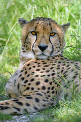 Cheetah lying in the grass, looking at me