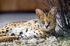 Resting serval looking at me