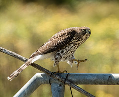 Coopers Hawk - (immature) Lucky find ,,, saw it from a distance where lots of photographers go in our area, hopped in my car, followed it as it landed where many kingfisher shots are taken. They sparred over the perch but the Coopers Hawk won.