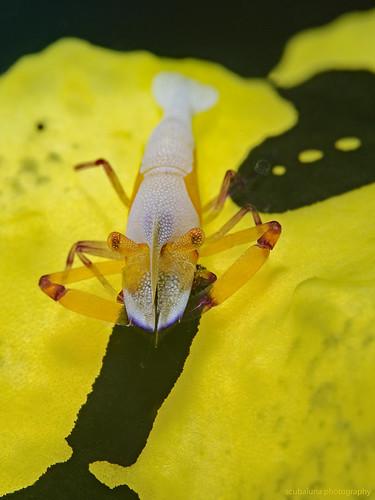 Emperor Shrimp (Periclimenes imperator) on Banana Nudibranch (Aegires minor)
