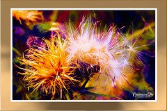 Thistle Down Fireworks - Version 1