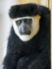 Close portrait of a colobus monkey