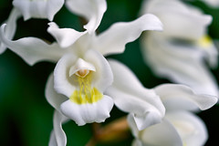 Dreamy white dominance (Coelogyne Unchained Melody)