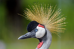 Grey crowned crane II