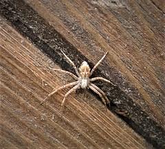 Running Crab spider. Philodromus species