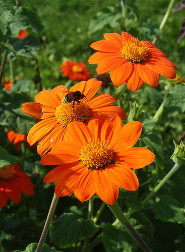 Mexican Sunflowers with a Guest