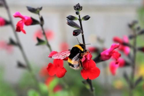 Large earth bumblebee
