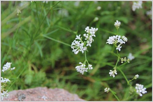 Hügel-Meier (Asperula cynanchica)