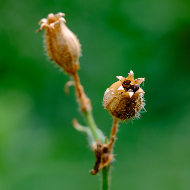 Photo:Bladder Campion seed pods - Gousses de silène latifolia alba By monteregina