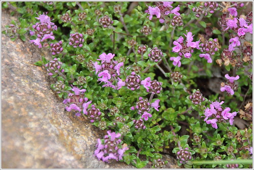 Sand-Thymian (Thymus serpyllum)