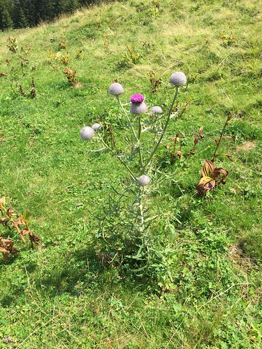 Cirsium eriophorum Wollköpfige Kratzdistel 01.08.20, 13 36 12