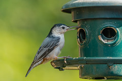 Nuthatch Eating Seed