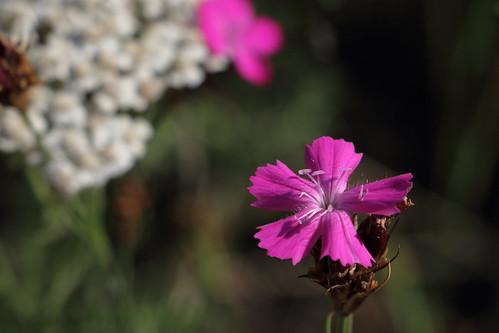 Dianthus carthusianorum, Kartäusernelke vor Schafgarbe