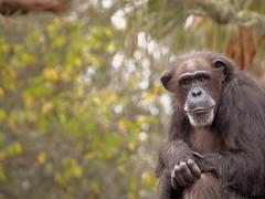Chimp in Tampa - Not George Burns