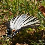 Iphiclides podalirius (Mariposa chupaleches). Paseo del Norte de La Guardia (Toledo) 12-8-2020