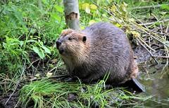 Beaver-pond life