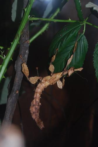 Australische flappentak