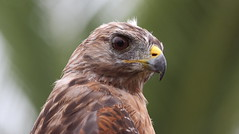 Red-shouldered Hawk- The Yard